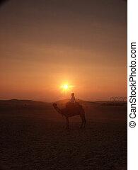 conductor, camello