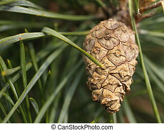 cone at a scots pine tree - cone at a branch from a scots...