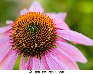 Cone Flower, also known as Echinacea, in a Garden