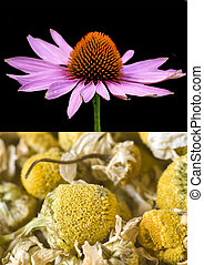 Cone flower and chamomile