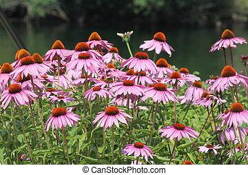 Cone Flower-Purple