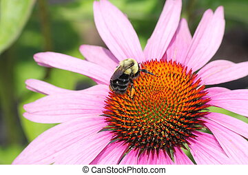 Cone Flower-Purple with Bee