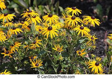 Cone Flower-Yellow