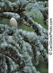 Cone of the Blue Atlas Cedar - The pale upright cone of the...