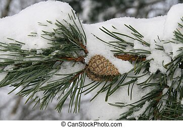 Cone on the branch of a pine
