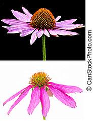 Coneflower, Echinacea purpurea - Cone flower, Echinacea...