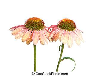 coneflowers, zwei, echinacea, freigestellt