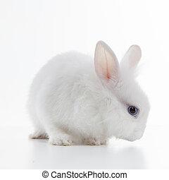 conejo blanco, aislado, blanco, plano de fondo