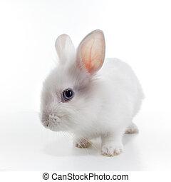 conejo blanco, aislado, plano de fondo