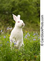 conejo, blanco