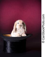 conejo, etapa