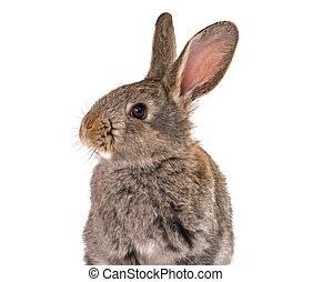 conejo, gris, aislado