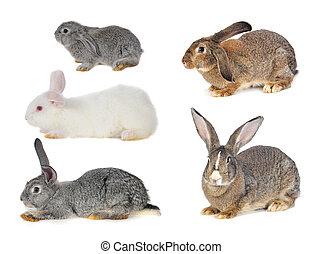 conejo marrón