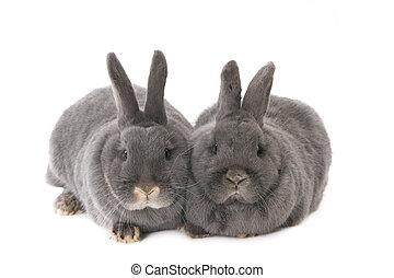 conejos, dos, gris