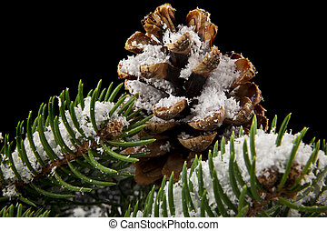 cones and branch of Christmas tree in snow on a black background close-up
