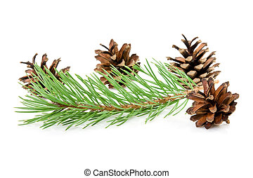 cones and green pine branch