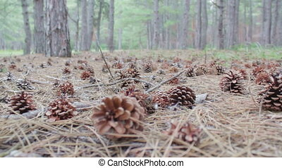 Cones in a pine forest.