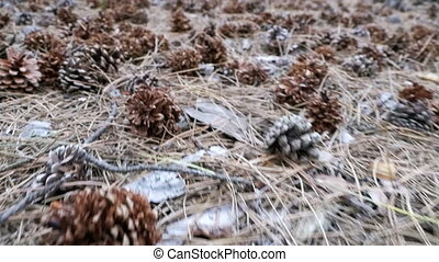 Cones in a Pine Forest. The Camera Moves Low over the Ground...