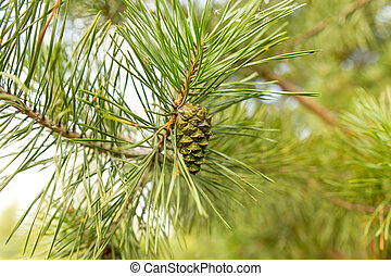 Cones on a pine in the woods