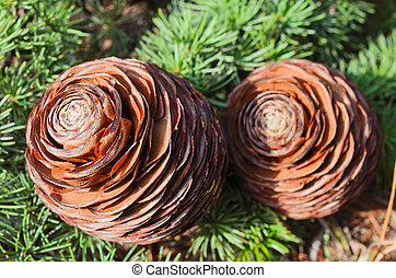 Cones on the branch of pine