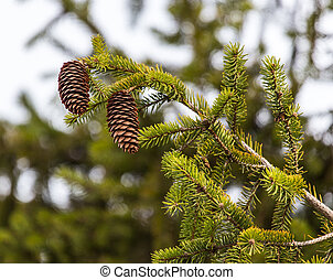 cones on the tree in nature