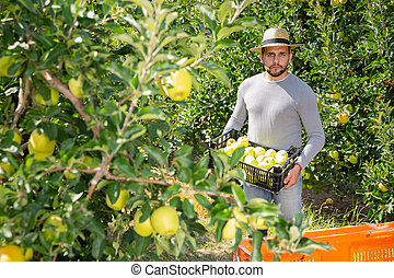 Confident male worker harvest apples in a big box