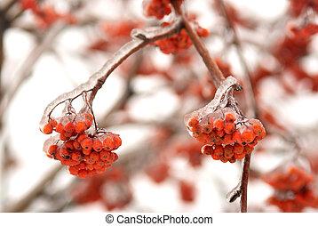 congelado, filial árvore, com, rowan