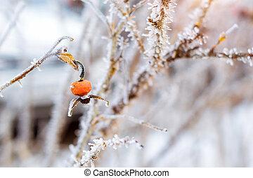 congelado, flores, de, salvaje se levantó, cubierto, con, hielo