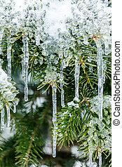 congelado, pinho, ramos, em, inverno