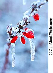 congelado, rosehip, inverno, ramo