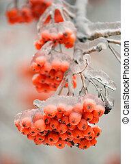 congelado, rowan, ramo, com, bagas, em, inverno