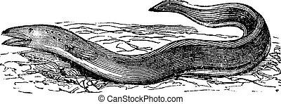 Conger Eel or Conger sp. vintage engraving - Conger Eel or...