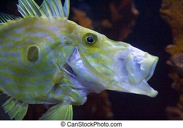 congiopodidae, familia , horsefishes, meridional, comúnmente...