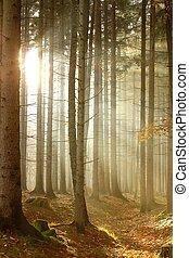 conifère, soleil, forêt