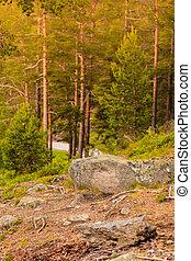 conifère, vert, forêt, Arbres