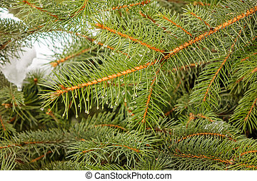 Conifer branch  in nature, note shallow depth of field