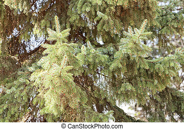 Conifer branch with fir cone in nature, note shallow depth...