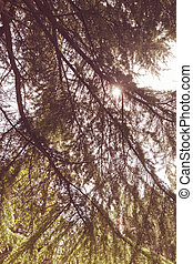 Conifer branch with sunlight in nature, note shallow depth...