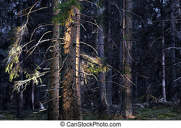 conifer forest at sunset