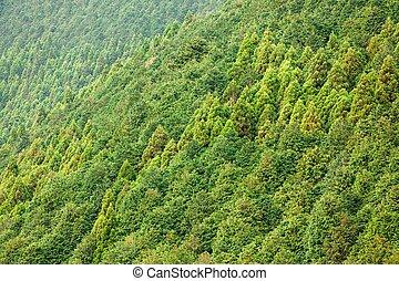 conifer forest background - cryptomeria conifer forest...
