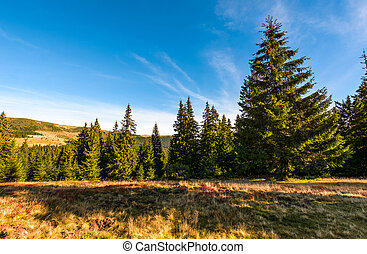 Conifer forest in classic Carpathian mountain Landscape -...