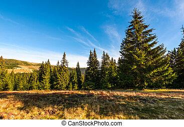 Conifer forest in classic Carpathian mountain Landscape -...