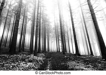 conifer forest in fog - Image of the conifer forest early in...