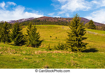 conifer forest in summer countryside landscape - Conifer...