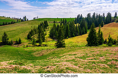 conifer forest in summer landscape - Conifer forest on a...