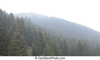 Conifer Forest on a Mountain - Panning to the right over...