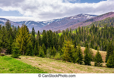 conifer forest on a rolling hills in springtime. beautiful...