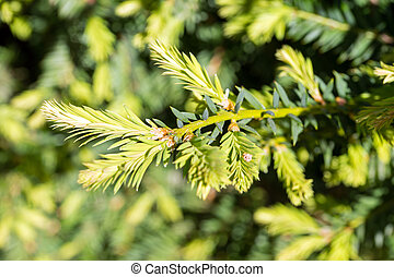 Conifer - green branch of a conifer