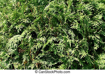 Conifer green pattern - Background of conifer ever green...