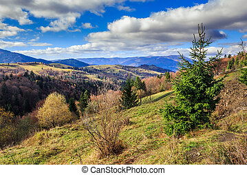 conifer hillside near autumn forest on top of the mountain...